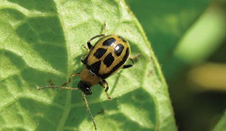 Yellow Lady Bug