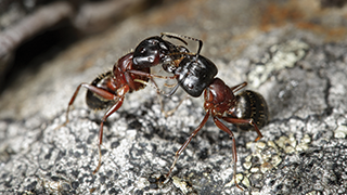 Ant fighting on a rock.