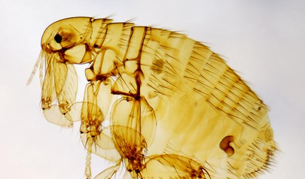 common pest ortho fleas