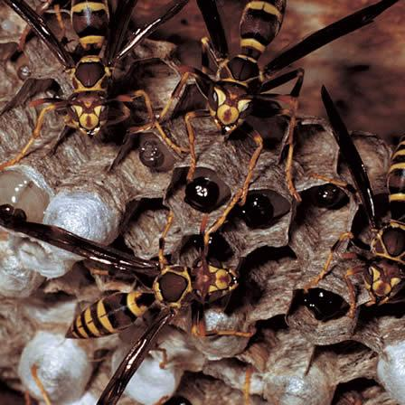 Image of Paper wasps