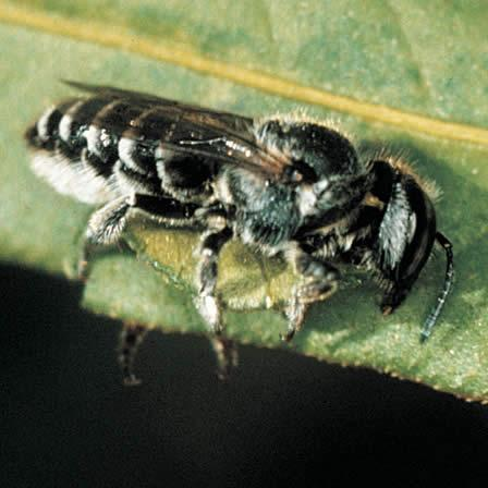 Image of Africanized bees