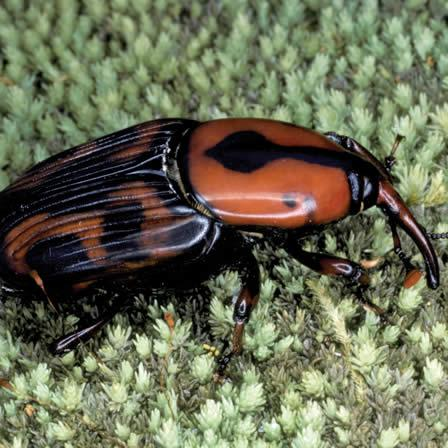 Image of Palmetto Weevil - Insects