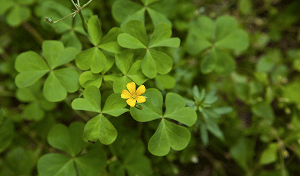 Oxalis ortho oxalis has yellow flowers in spring and summer mightylinksfo Choice Image