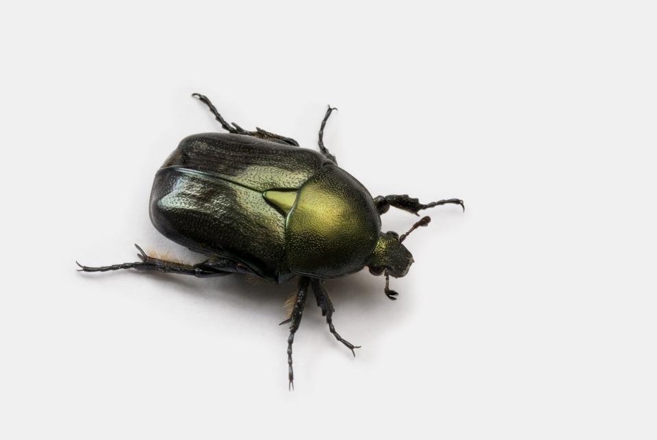 Japanese beetle on white background