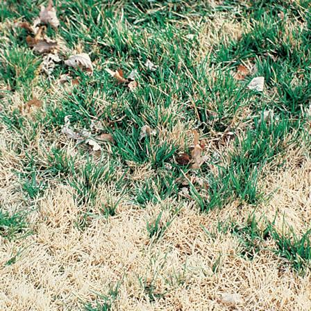 Image of Warm-Weather Grasses Becoming Dormant