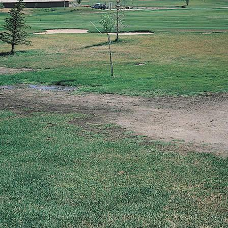 Image of Salt Damage - Lawns