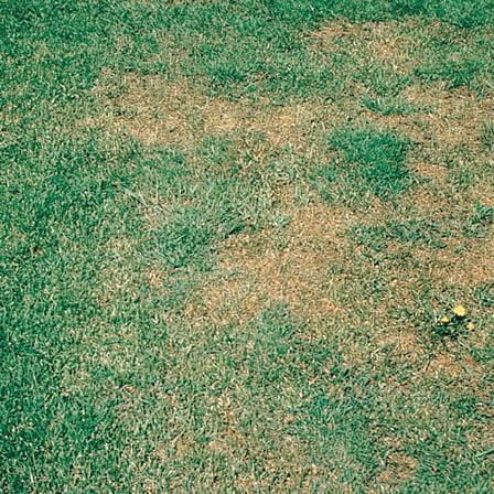 Image of Leaf Spots - Lawns