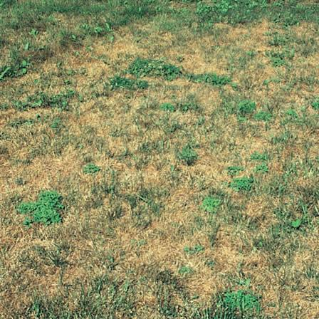 Image of Nematodes - Lawns