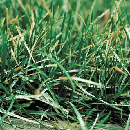 Image of Powdery Mildew - Lawns