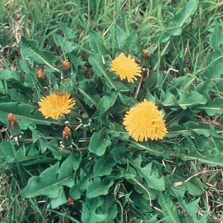 Image of Dandelion - Lawns