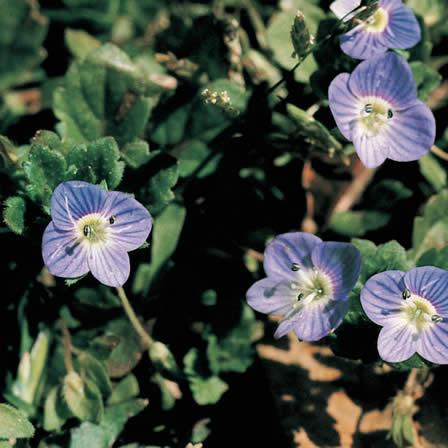 Image of Speedwell