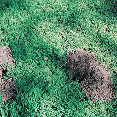 Image of Pocket Gophers - Lawns