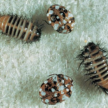 Image of Carpet beetles