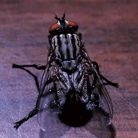 Image of Houseflies