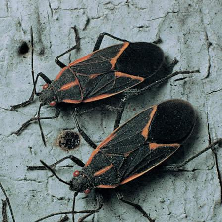 Image of Box elder bugs