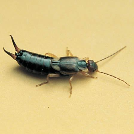 Image of Earwigs