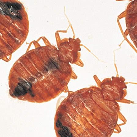 Image of Bedbugs