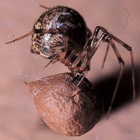 Image of House spiders