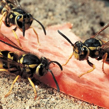 Image of Yellow Jackets