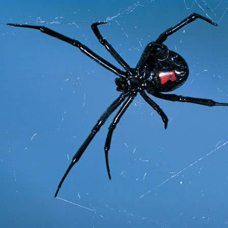 Image of Black widow spiders
