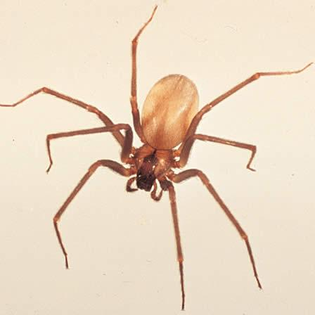 Image of Brown recluse spiders