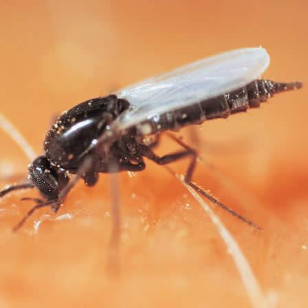 Image of Biting Midges