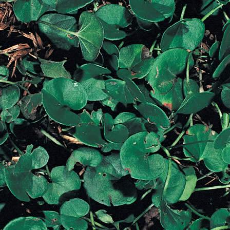 Image of Dichondra