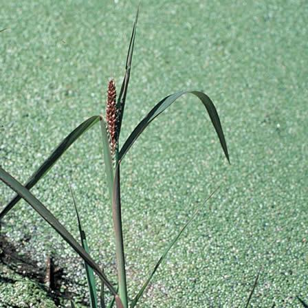 Image of Barnyardgrass - Hardscapes
