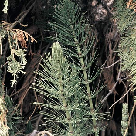 Image of Horsetail