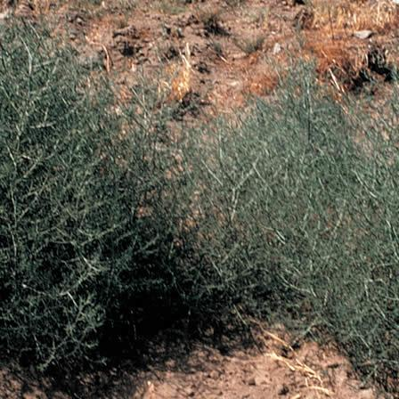 Image of Russian Thistle