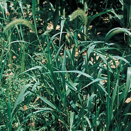 Image of Foxtails