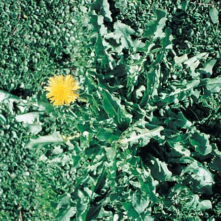 Image of Dandelion - Hardscapes