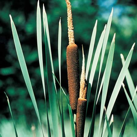 Image of Cattails