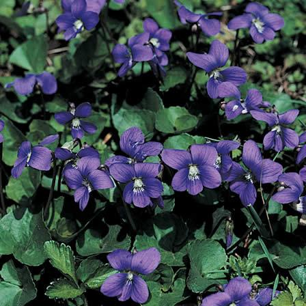 Image of Wild Violet - Hardscapes