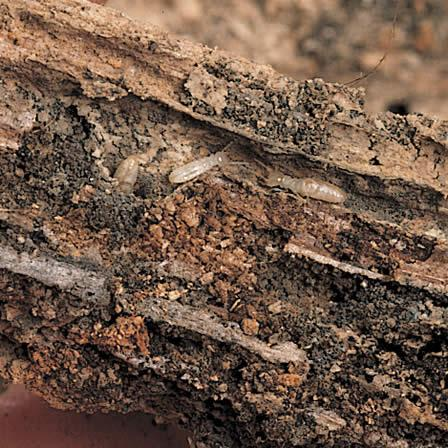 Image of Termites - Insects