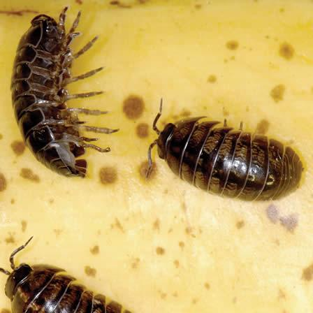 Image of Sowbugs and Pillbugs
