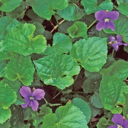 Image of Wild Violet - Lawns