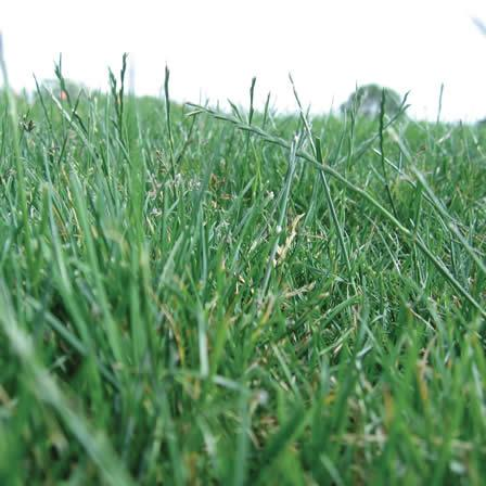 Image of Seedheads in Lawn