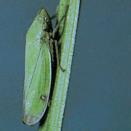 Image of Leafhoppers - Lawns