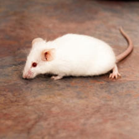 Image of Rodent