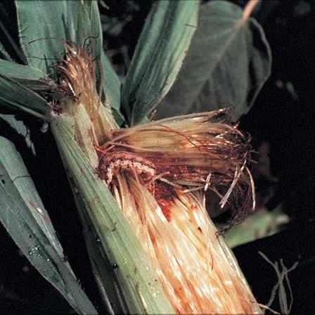 Image of Armyworms - Lawns