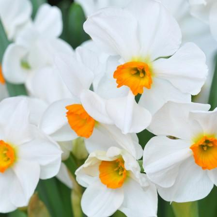 Image of Narcissus (Daffodil, Jonquil)
