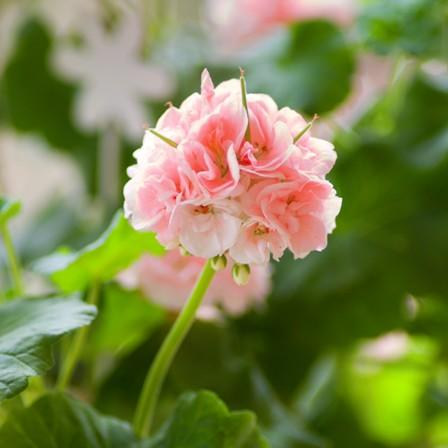Image of Geranium (Pelargonium)