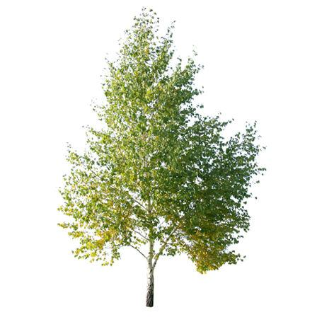 Image of Maple, Box Elder (Acer)