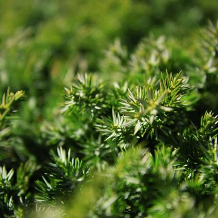 Image of Juniper