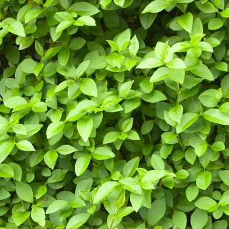 Image of Ligustrum (Privet)