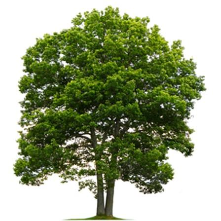 Image of Oak (Quercus)