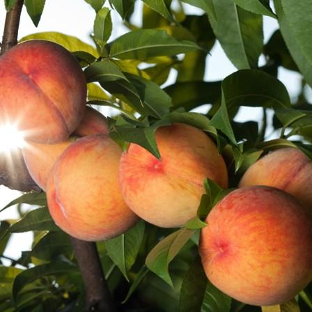 Image of Peach and Nectarine