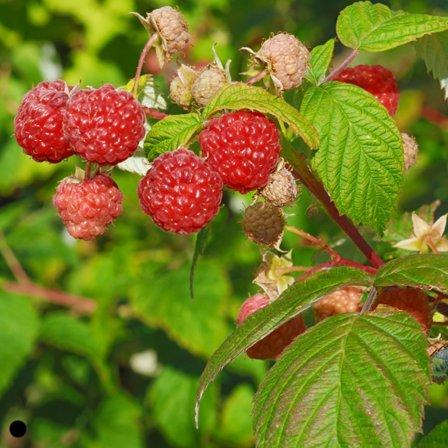Image of Brambles (Blackberries, Raspberries)