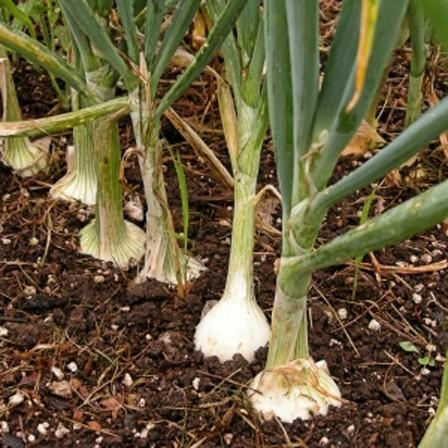 Image of Onion Family (including garlic)
